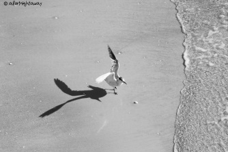 sea gull, photography